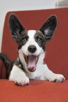 赤いソファーの上のコーギー犬 02359000248| 写真素材・ストックフォト・画像・イラスト素材|アマナイメージズ