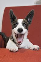 赤いソファーの上のコーギー犬 02359000249| 写真素材・ストックフォト・画像・イラスト素材|アマナイメージズ