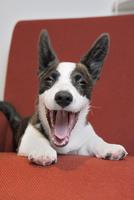 赤いソファーの上のコーギー犬 02359000250| 写真素材・ストックフォト・画像・イラスト素材|アマナイメージズ