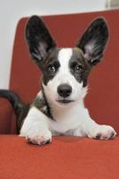 赤いソファーの上のコーギー犬 02359000251| 写真素材・ストックフォト・画像・イラスト素材|アマナイメージズ