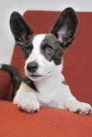 赤いソファーの上のコーギー犬 02359000252| 写真素材・ストックフォト・画像・イラスト素材|アマナイメージズ