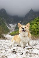谷川岳の一ノ倉沢の雪渓に立つコーギー犬 02359000255| 写真素材・ストックフォト・画像・イラスト素材|アマナイメージズ