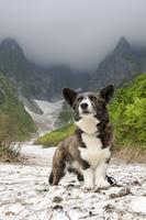 谷川岳の一ノ倉沢の雪渓に立つコーギー犬 02359000257| 写真素材・ストックフォト・画像・イラスト素材|アマナイメージズ