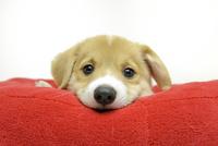 赤いクッションでくつろぐコーギーの子犬 02359000261| 写真素材・ストックフォト・画像・イラスト素材|アマナイメージズ