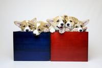 箱入りコーギーの子犬たち 02359000262| 写真素材・ストックフォト・画像・イラスト素材|アマナイメージズ