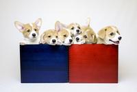 箱入りコーギーの子犬たち 02359000263| 写真素材・ストックフォト・画像・イラスト素材|アマナイメージズ