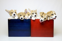 箱入りコーギーの子犬たち 02359000264| 写真素材・ストックフォト・画像・イラスト素材|アマナイメージズ