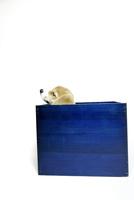 青い箱の中のコーギーの子犬 02359000265| 写真素材・ストックフォト・画像・イラスト素材|アマナイメージズ