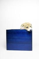 青い箱の中のコーギーの子犬 02359000266| 写真素材・ストックフォト・画像・イラスト素材|アマナイメージズ