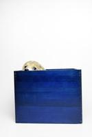 青い箱の中のコーギーの子犬 02359000267| 写真素材・ストックフォト・画像・イラスト素材|アマナイメージズ