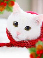 赤いマフラーを巻いたネコ