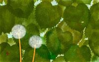 タンポポの綿毛 02369000026| 写真素材・ストックフォト・画像・イラスト素材|アマナイメージズ
