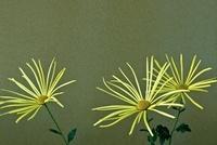 菊(肥後菊)
