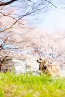 桜の下の犬