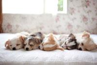 ベッドで眠ってるチワワの子犬