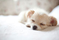 ベッドで眠ってるチワワの子犬 02388000128A| 写真素材・ストックフォト・画像・イラスト素材|アマナイメージズ