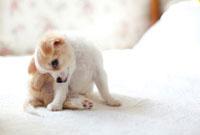ベッドの上のチワワの子犬