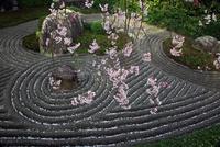 春の妙心寺退蔵院(桜) 02397000322| 写真素材・ストックフォト・画像・イラスト素材|アマナイメージズ