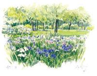 菖蒲の咲く水元公園 02398000285| 写真素材・ストックフォト・画像・イラスト素材|アマナイメージズ