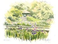 菖蒲の咲く明治神宮 02398000296| 写真素材・ストックフォト・画像・イラスト素材|アマナイメージズ
