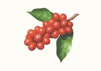 コーヒーの実 イラスト 02405000139| 写真素材・ストックフォト・画像・イラスト素材|アマナイメージズ