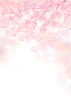 満開の桜の花 02411000001| 写真素材・ストックフォト・画像・イラスト素材|アマナイメージズ