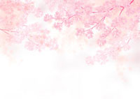 満開の桜の花 02411000002| 写真素材・ストックフォト・画像・イラスト素材|アマナイメージズ