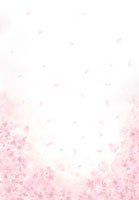 満開の桜の花と花びら 02411000003| 写真素材・ストックフォト・画像・イラスト素材|アマナイメージズ