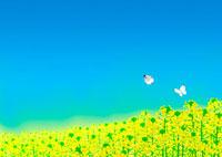 一面の菜の花畑とモンシロチョウ 02411000005| 写真素材・ストックフォト・画像・イラスト素材|アマナイメージズ