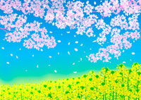 一面の菜の花畑と桜の花 02411000006| 写真素材・ストックフォト・画像・イラスト素材|アマナイメージズ