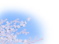 満開の桜 02411000014| 写真素材・ストックフォト・画像・イラスト素材|アマナイメージズ