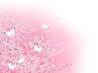 満開の桜とモンシロチョウ