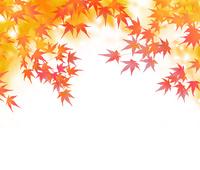 紅葉した枝垂れるモミジ