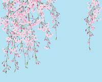青バックの枝垂れ桜