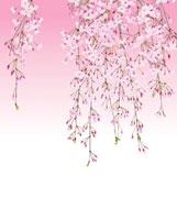 ピンクのグラデーションバックの枝垂れ桜