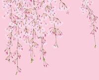 ピンク地の枝垂れ桜 02413000015A| 写真素材・ストックフォト・画像・イラスト素材|アマナイメージズ