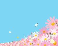 モンシロチョウとマーガレットの花畑