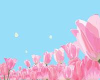 モンシロチョウとピンクのチューリップ