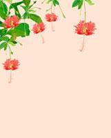 フウリンブッソウゲ ピンク 02413000042| 写真素材・ストックフォト・画像・イラスト素材|アマナイメージズ