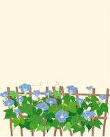 垣根にブルーの朝顔 薄ピンク