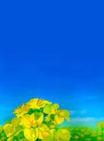 青空と菜の花畑 02414000007A| 写真素材・ストックフォト・画像・イラスト素材|アマナイメージズ