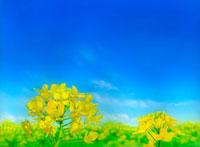 青空と菜の花畑 02414000008| 写真素材・ストックフォト・画像・イラスト素材|アマナイメージズ