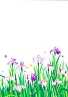 あやめの花の群生