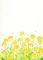 菜の花の群生 02422000003| 写真素材・ストックフォト・画像・イラスト素材|アマナイメージズ