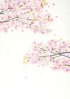 満開の桜と舞う花びら