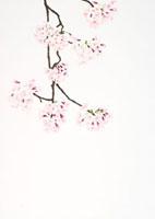 垂れ下がる桜