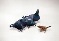 3羽のハトとスズメ