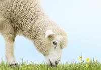 草を食む子羊