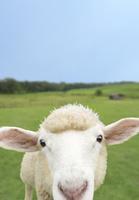 草原の中の子羊