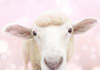 ピンクバックの子羊
